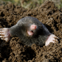 How much you do you know about the secretive, underground mole?